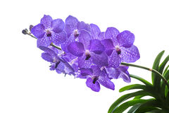 Purple flowers on a white background. stock photography