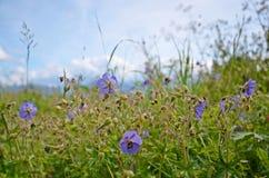 Purple flowers. Wild purple flowers growing in slovakian nature royalty free stock image