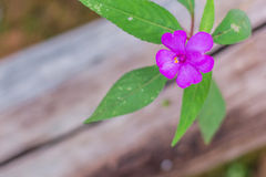 Purple flowers in wild nature Royalty Free Stock Image
