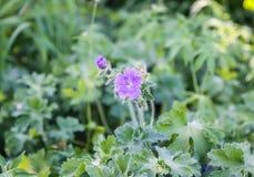 Purple flowers in wild nature. Beautiful purple flowers growing in spring park stock photo