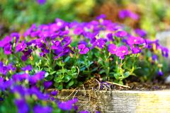 Purple flowers on wooden stair step royalty free stock images