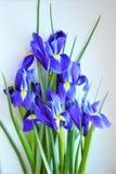 Purple flowers of irises royalty free stock photo