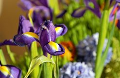 Purple flowers of xiphian irises  Siberian are among the green grass. royalty free stock photo