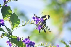 Yellow and Black Swallowtail Butterfly on Flowers. Purple flowers with a yellow and black swallowtail butterfly on them royalty free stock images