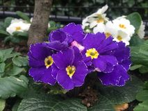 Purple flowers with yellow centers. Surrounded by green leaves and white flowers in the back royalty free stock images