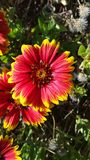Purple flowers with yellow tips in the sun - Indian Blanket - Gaillardia pulchella royalty free stock photos