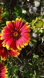 Purple flowers with yellow tips in the sun - Indian Blanket - Gaillardia pulchella royalty free stock photo