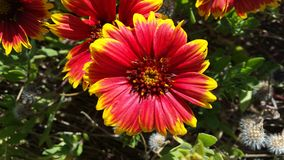 Purple flowers with yellow tips in the sun - Indian Blanket - Gaillardia pulchella stock photography