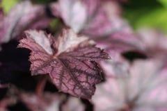 Purple foliage of Heuchera. Closeup of purple foliage of Heuchera Stock Images