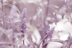 Purple forest Stock Photography