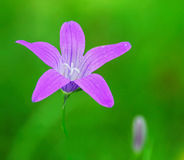Purple Forest Flower. On a green background Stock Image