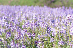 The purple forget me not flower field on sunny beautiful day Stock Image