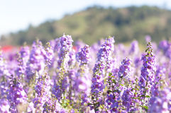 The purple forget me not flower field on sunny beautiful day Stock Photography