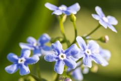 Purple Forget-Me-Not flowers in spring on green natural background. Selective focus