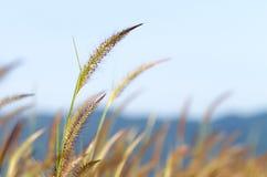 Purple fountain grass (Pennisetum pedicellatum Trin.) Stock Images