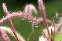 Purple fountain grass (Pennisetum setaceum) Royalty Free Stock Photos