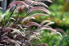 Free Purple Fountain Grass Stalks In A Garden, Bokeh In The Background Stock Image - 173306541
