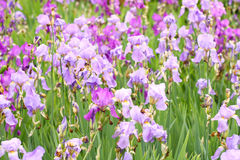 Purple fowers Royalty Free Stock Photos