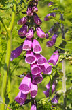 Purple foxglove Royalty Free Stock Photos