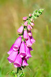 Purple foxglove Stock Image