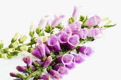 Free Purple Foxglove, Digitalis Purpurea Stock Photo - 50495940