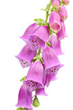 Purple Foxglove (Digitalis Purpurea) Flowers Stock Photos