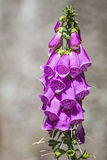 Purple foxglove, digitalis purpurea Royalty Free Stock Images