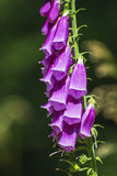 Purple foxglove, digitalis purpurea Royalty Free Stock Photos
