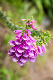 Purple foxglove flowers close up Royalty Free Stock Photos