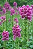 Purple Foxglove flowers. In the garden Royalty Free Stock Photos