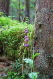 Purple Foxglove. Growing in the forest Stock Image