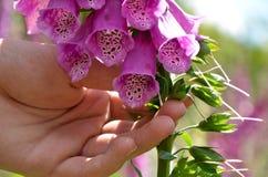Purple foxglove and hand. Hand holding purple foxglove flower Stock Photos