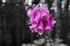 Purple foxglove, thimble, blossom, Black Forest, Germany. Purple foxglove, thimble, blossom, in the beautiful Black Forest Germany Royalty Free Stock Image