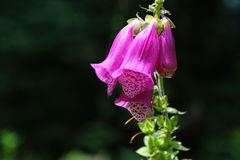 Purple foxglove, thimble, blossom, Black Forest, Germany. Purple foxglove, thimble, blossom, in the beautiful Black Forest Germany Royalty Free Stock Photos