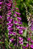 Purple foxgloves in the wild Stock Image