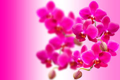 Purple fragile orchids flowers on blurred gradient Stock Photo