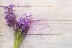 Purple fragrant hyacinth on white background with glare and bokeh stock images