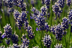 Purple fragrant lavender flowers Stock Photo