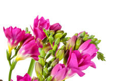 Purple freesia Royalty Free Stock Images