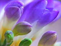 Purple Freesia Stock Images