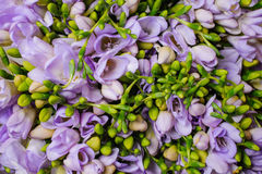 Purple freesia flower background top view Stock Photos