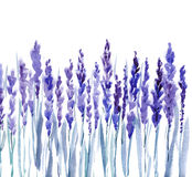 Purple French Lavander Stock Photos