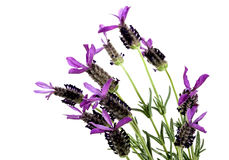 Purple French Lavender Flowers on Green Stems Stock Photography