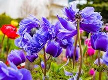 Purple fresh anemone flowers background.  stock photography