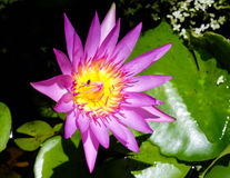 Purple fresh lotus with yellow pollen and a bee inside Stock Photography