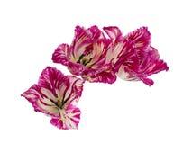 Purple fringed tulip Royalty Free Stock Photos