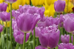 Purple fringed tulips in keukenhof Royalty Free Stock Image