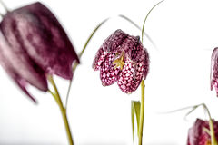 Purple Fritillaria meleagris on White Background Royalty Free Stock Images