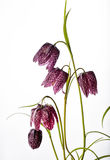 Purple Fritillaria meleagris on White Background Stock Photography