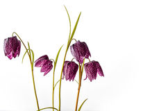 Purple Fritillaria meleagris on White Background Stock Images